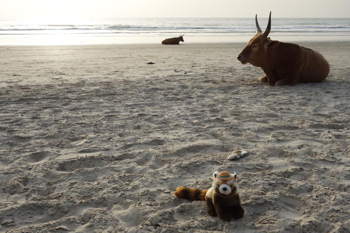 senegalské krávy
